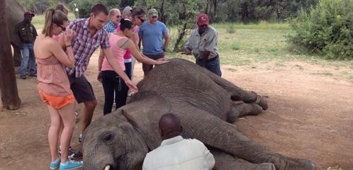 Zebula interaction with elephants