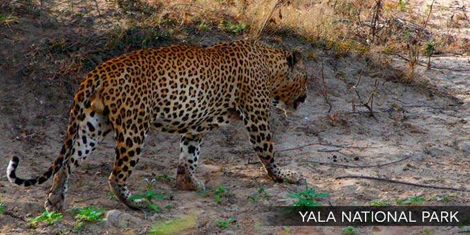 Yala National Park Jeep Safari