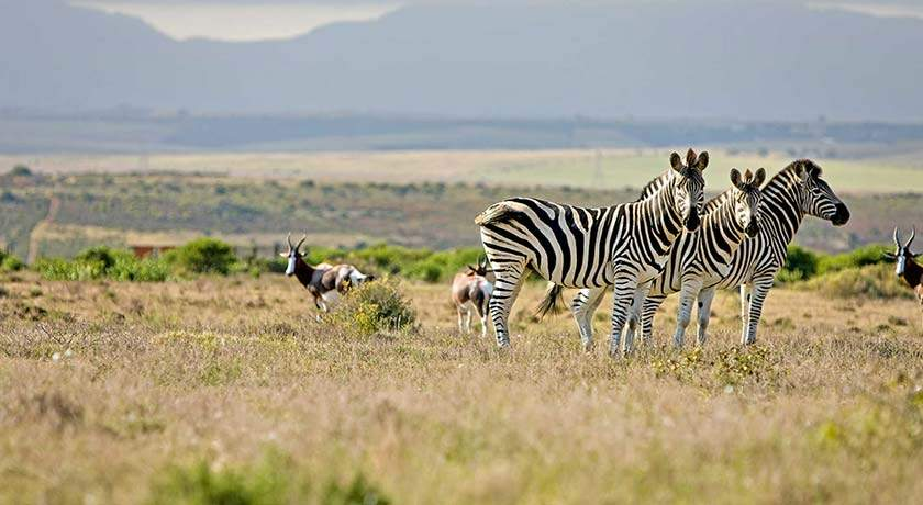 south-africa-golf-holidays-zebras